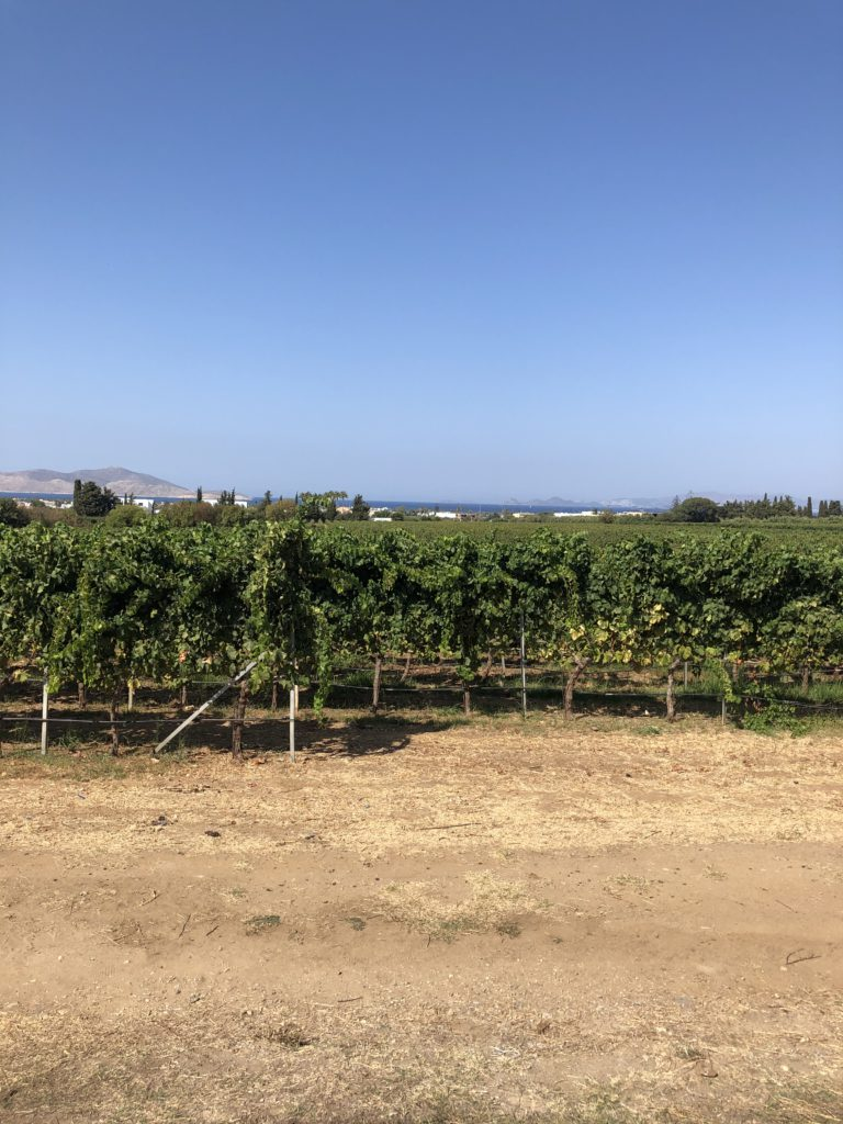 strolling through the vineyards on kos island is the perfect activity and the best way to sample greek wine